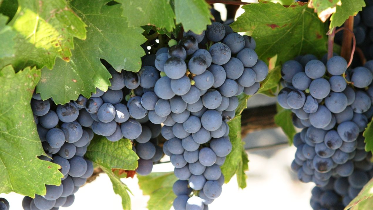 State Celebrates Grapes And Vineyards
