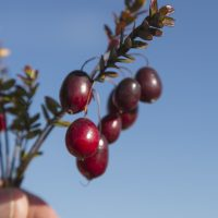 Researchers Tackle Cranberry Questions