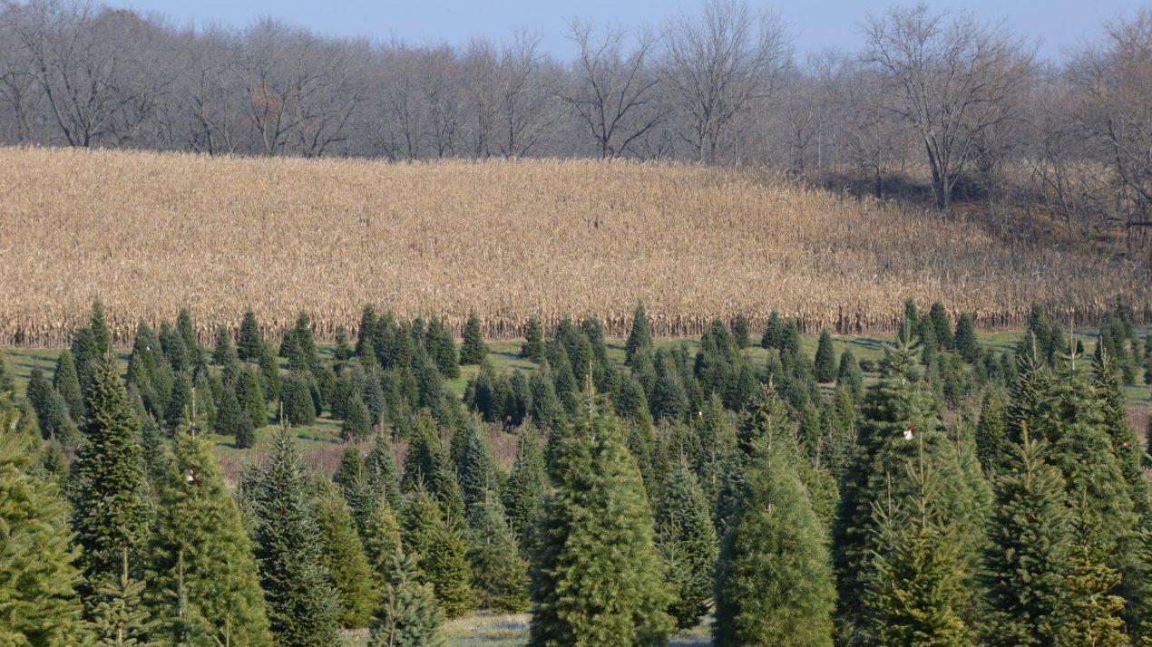 Buy Local: Buy a Real Christmas Tree