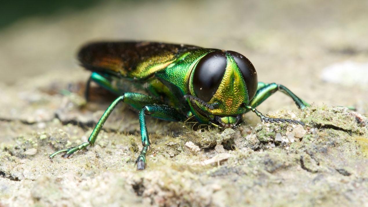 As Gypsy Moth Threat Fades, Emerald Ash Borer Threat Rises