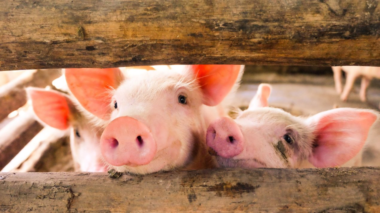 Pork Industry Supports Bill Helping Farmers Participate in Carbon Markets