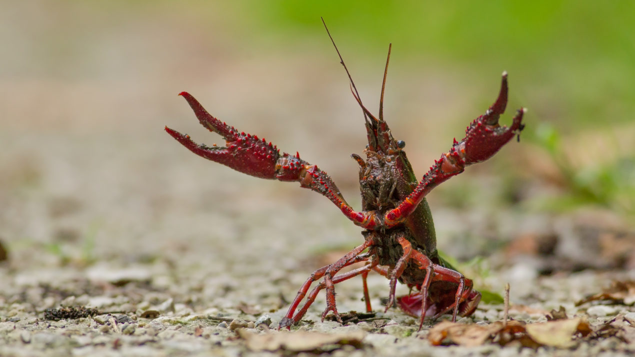Crayfish Illegally Dumped at Sauk County Boat Launch