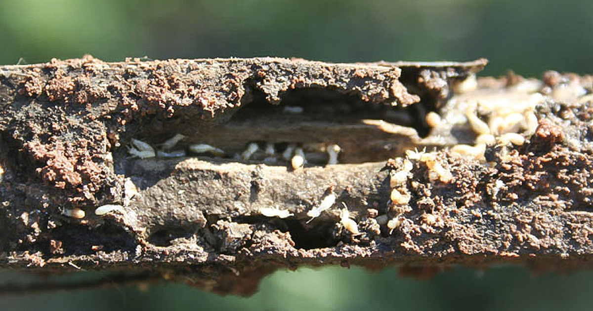 Hard-working termites crucial to forest, wetland ecosystems