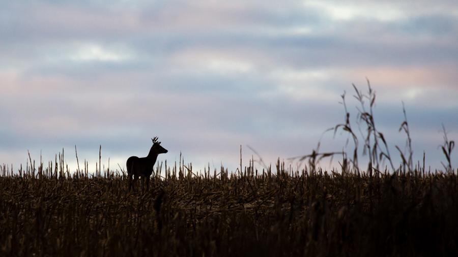 Late corn harvest could impact Wisconsin deer season