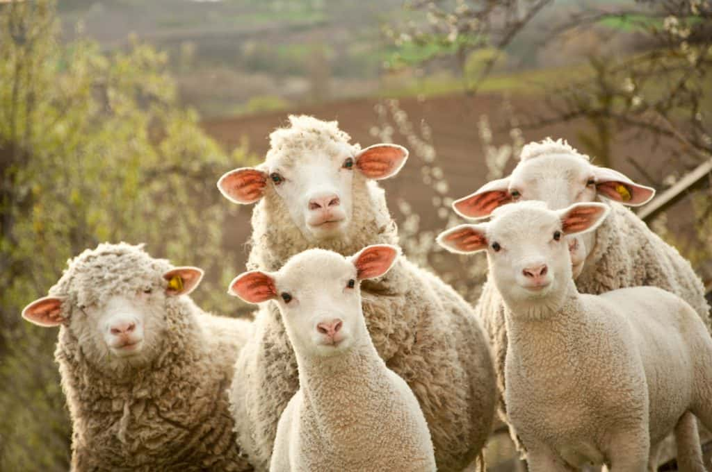 Sheep & Wool Festival Modified For This Year