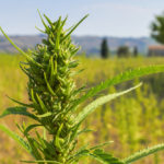 Iowa Department of Agriculture seeks public input for new hemp production regulations