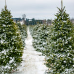 Test Your Knowledge with These Christmas Tree Facts