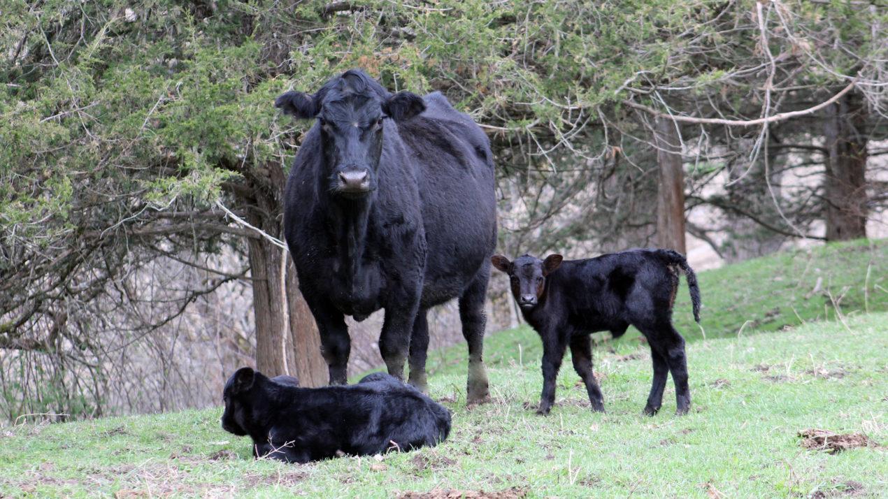 Heavy Carcass Weights Still a Burden on Beef Markets