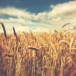 Wisconsin Small Grains Update