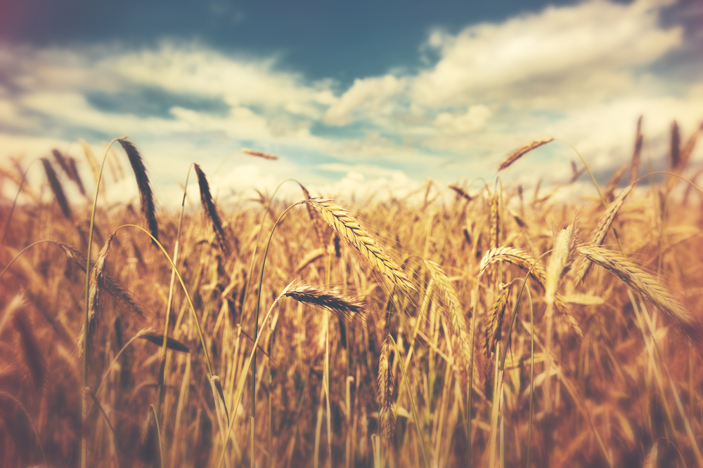 Wisconsin Small Grains Update