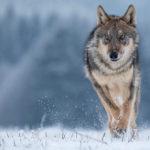 Wisconsin Farm Bureau Submits Testimony Supporting Wolf Hunting Season
