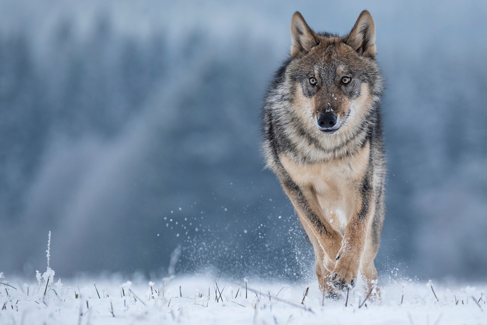 Wisconsin Congressman Introduces Bill to Restore Gray Wolf Authority to States