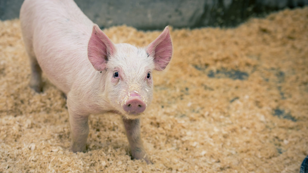 WPA Offers Youth Pig Project Scholarships