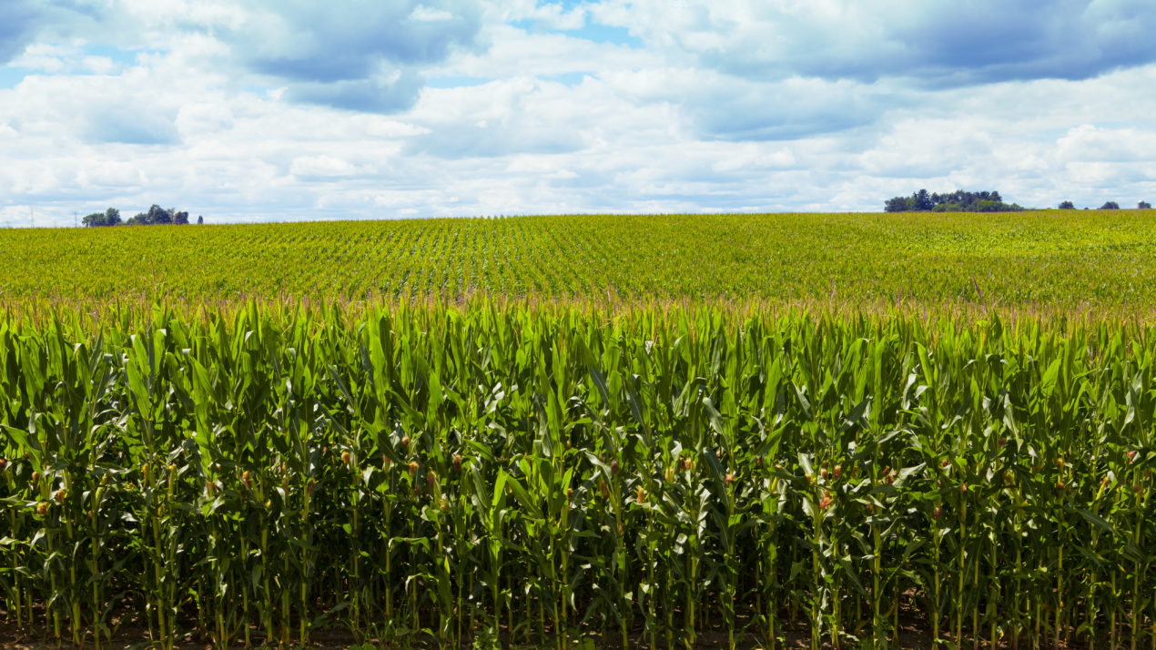 Rock County Leads State in Corn and Soy Production