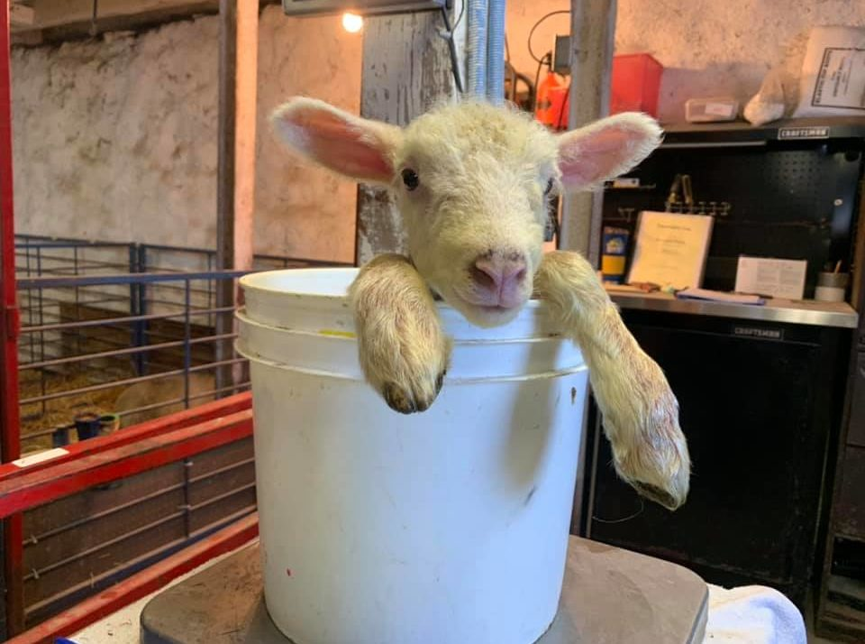 """""""It's Been Crazy""""- Lambing Season Keeps Producer Busy"""