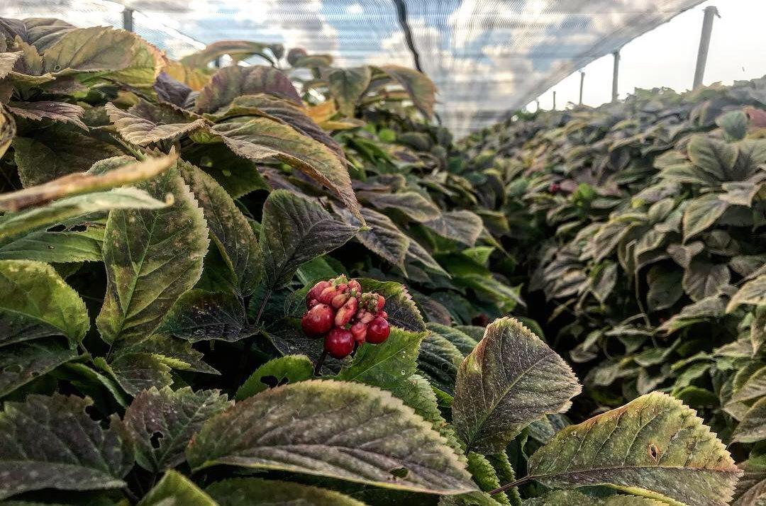 Wisconsin ginseng hurt first by trade, next by Coronavirus