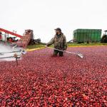 Wisconsin's No. 1 Fruit: Cranberries