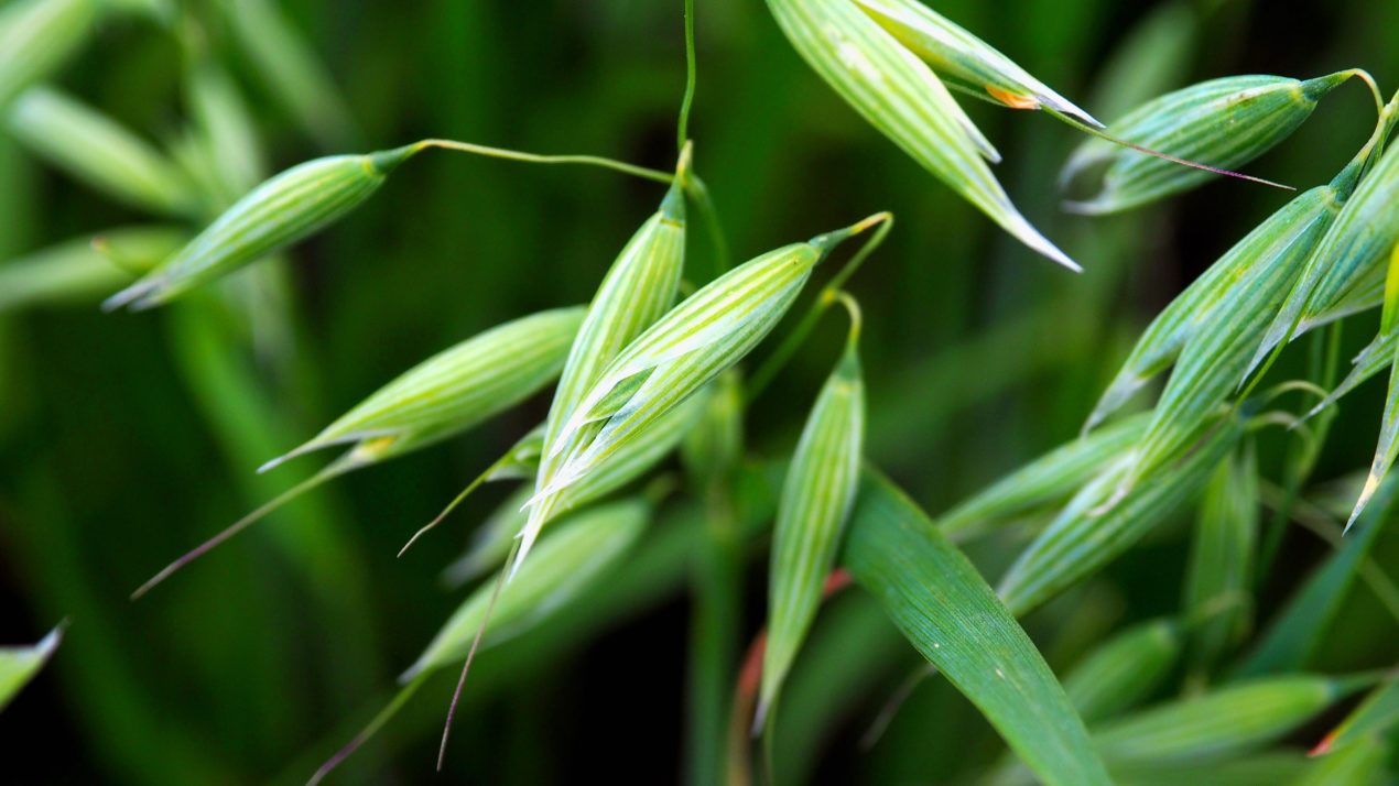 Wisconsin Wheat Down But Oats Take A Jump
