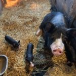 Pork Producers Continue to Struggle Mightily