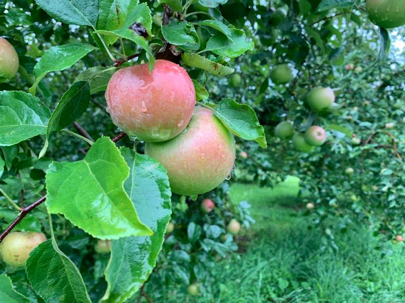 Despite Spring Challenges, Apples are Looking Good