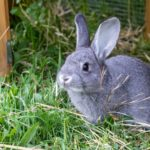 Rabbit Hemorrhagic Could Threaten States Population