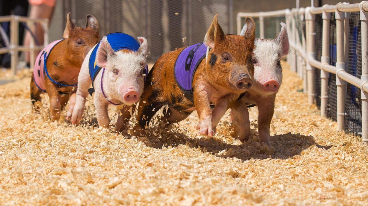 Name The Racing Pigs