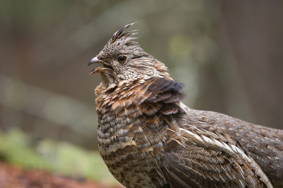 West Nile Virus Found In Ruffed Grouse