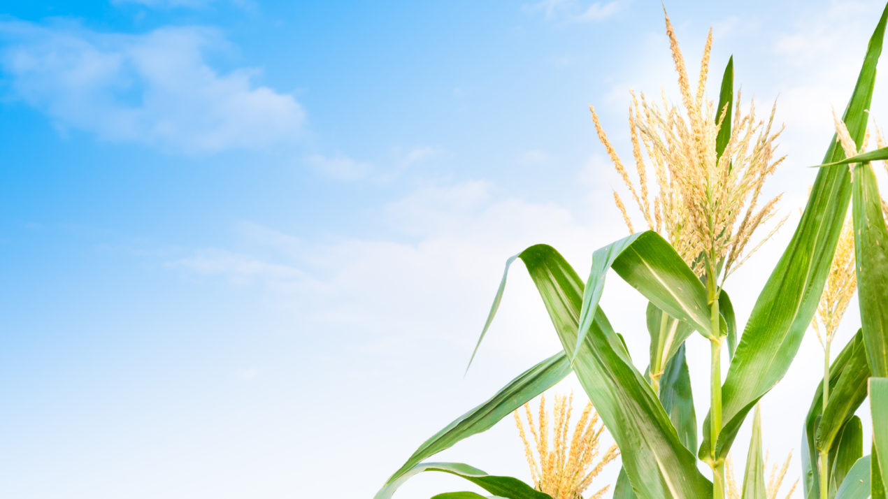 Corn Crop Continues to Click Along at Rapid Pace