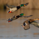 Fall Fowl Hunting Opens Sept. 26