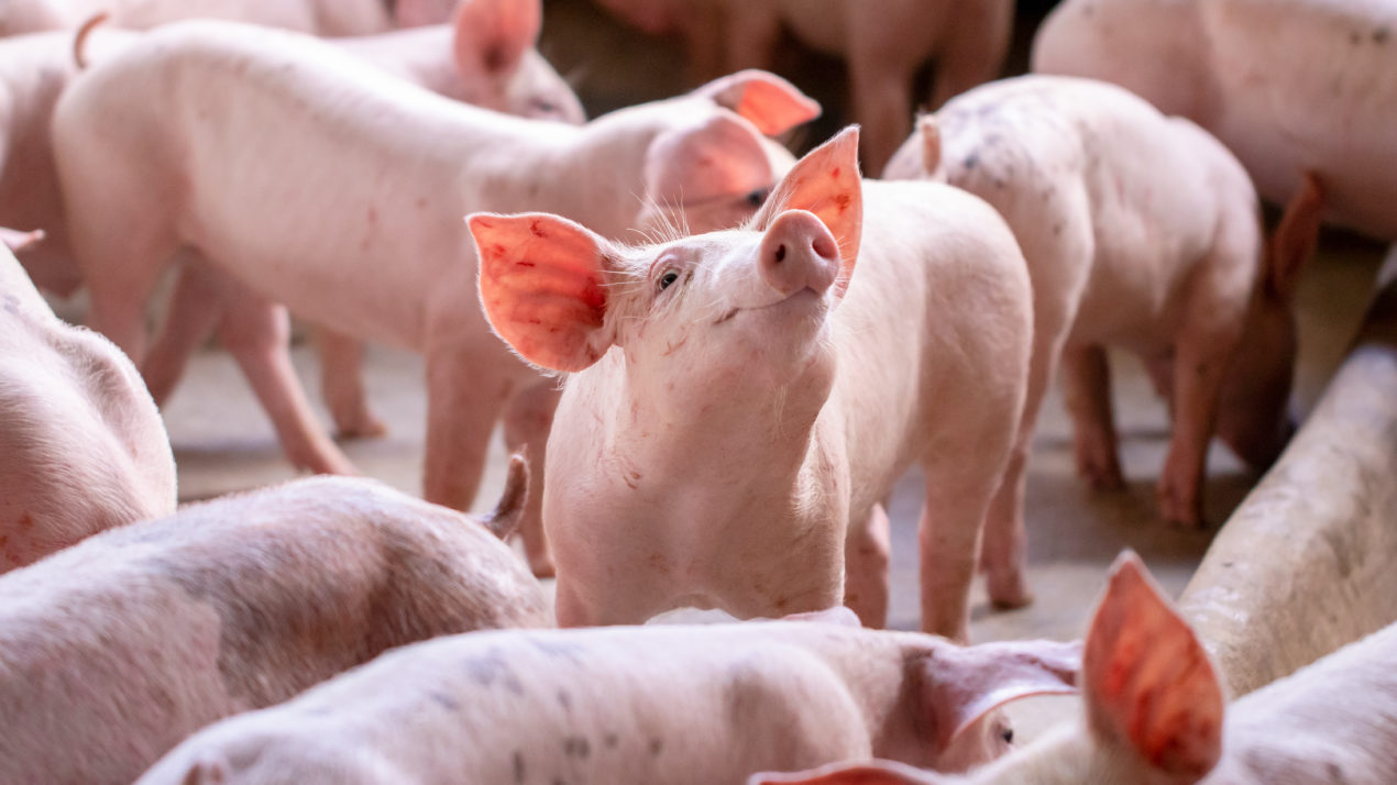 Livestock Prices Continue to Vary