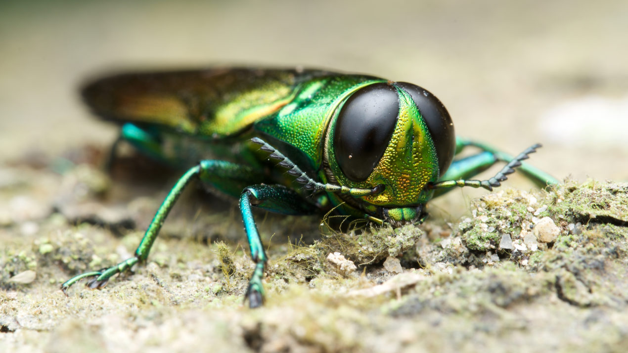 Emerald Ash Borer Detected in Price County