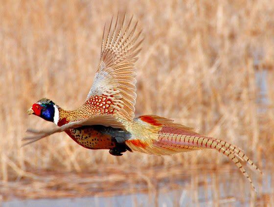 Pheasant Season's Coming