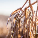 Corn and Bean Harvest Interrupted By Snow and Rain