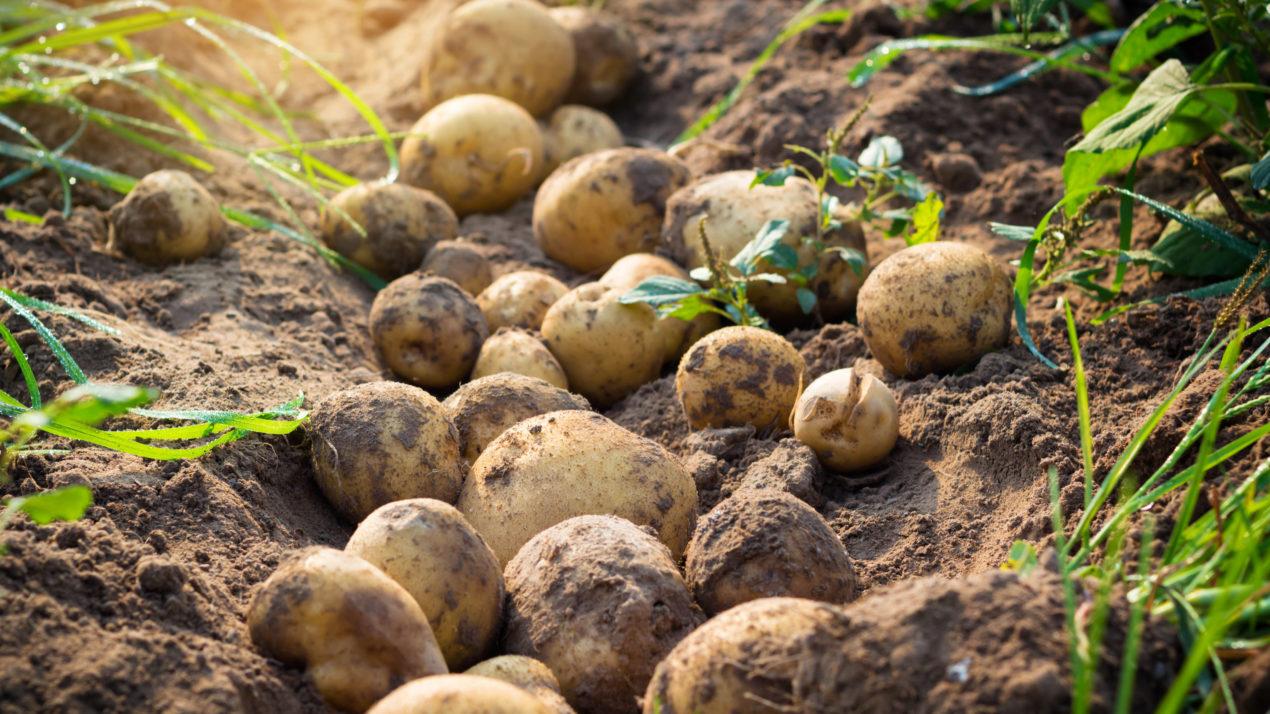 UW-Madison Leads Effort to Develop New Potato Varieties