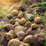 UW-Madison Leads Effort to Develop New Potato Varieties
