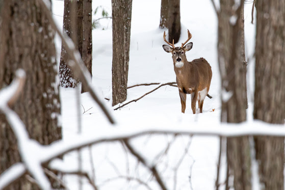 Deer Hunters Reminded To Select Farmland Zone Harvest Authorizations And Register Harvest