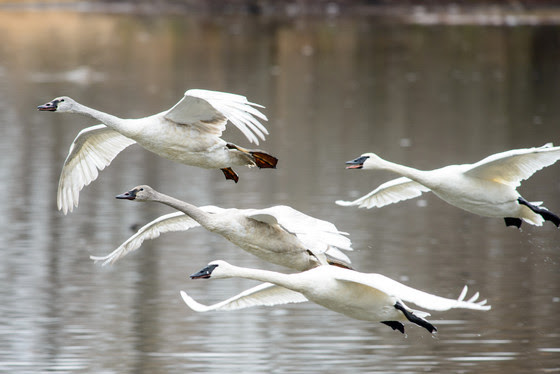 Hunters Reminded It's Illegal To Shoot Trumpeter Swans