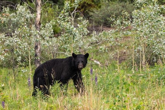 Wisconsin's 2020 bear hunting season could be fifth highest on record