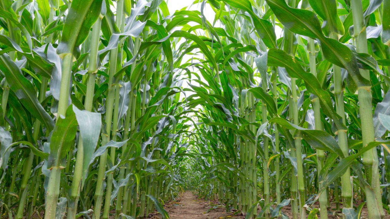 Crop Conditions Get Better