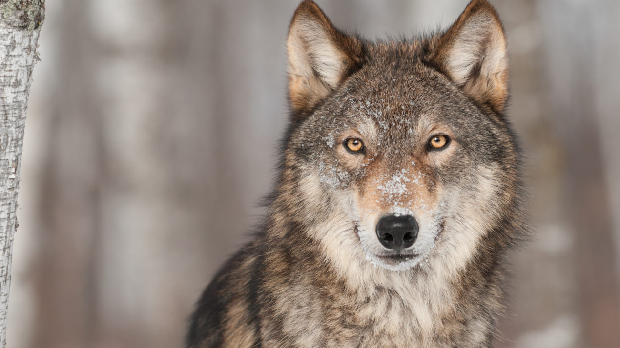 Wolf Harvest Zones 2,5,6 Will Close To Hunting And Trapping Effective 10 a.m. Feb. 24
