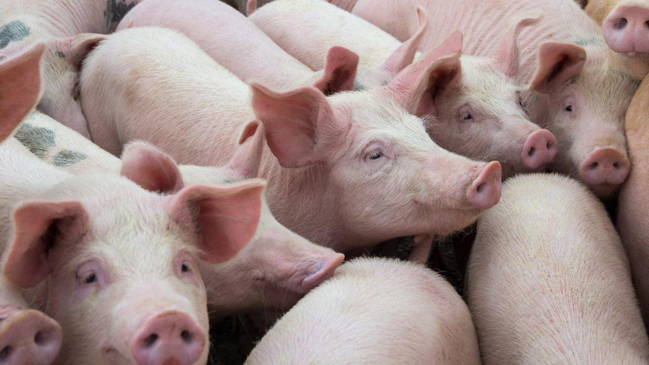 Cash hog market catches fire