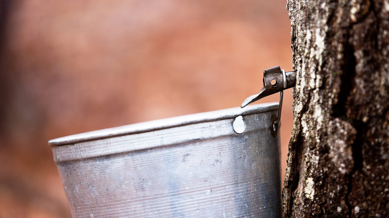 Tapping trees for maple syrup means spring is near
