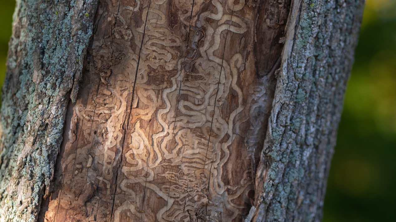 Emerald Ash Borer Detected in Langlade County