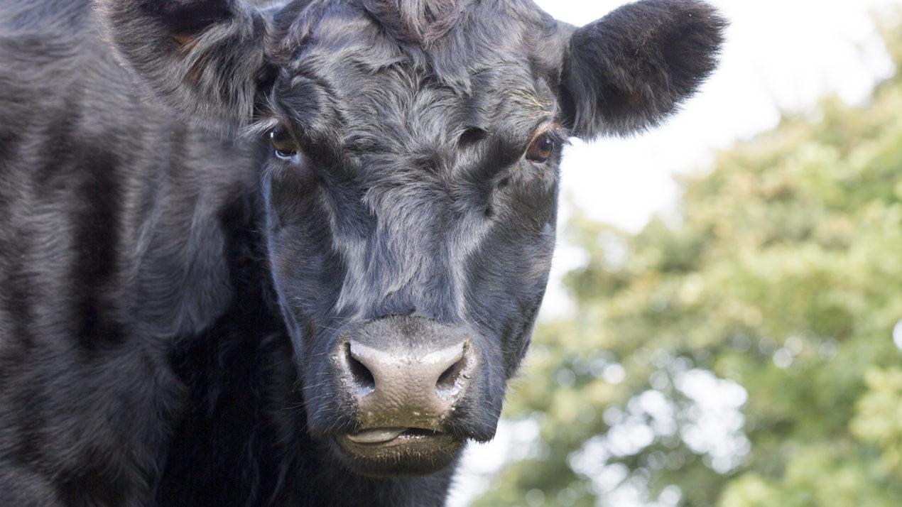 Performance Bull Sale sees 53 bulls average over $3,500