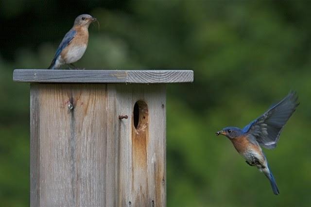 Bluebird Restoration Association Of Wisconsin Celebrates 35th Anniversary
