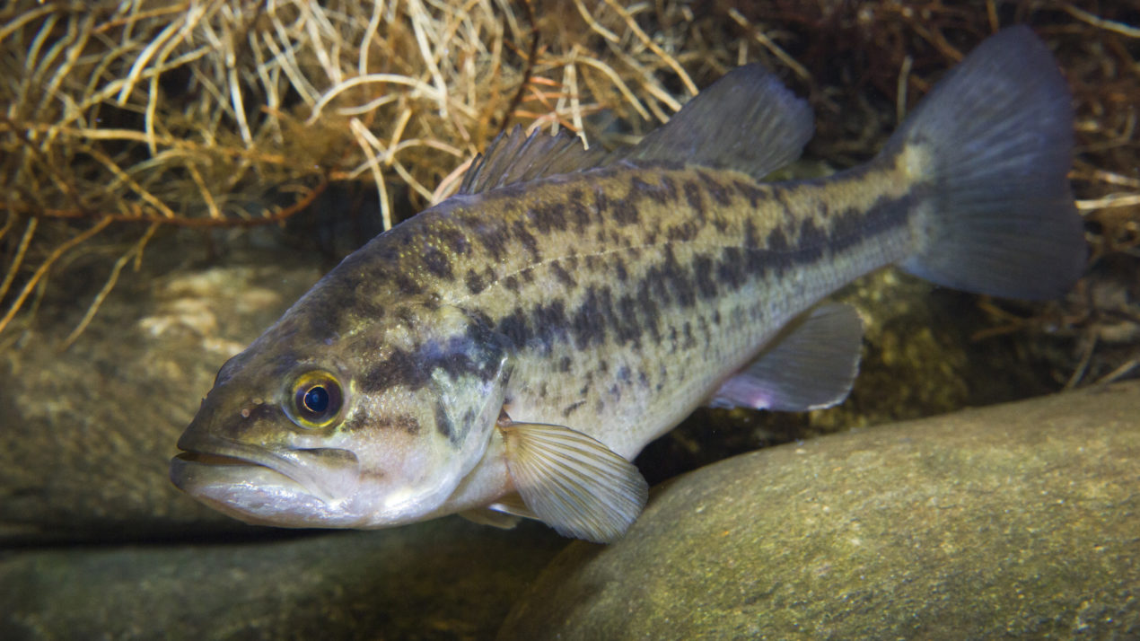 New PFAS Fish Consumption Advisories
