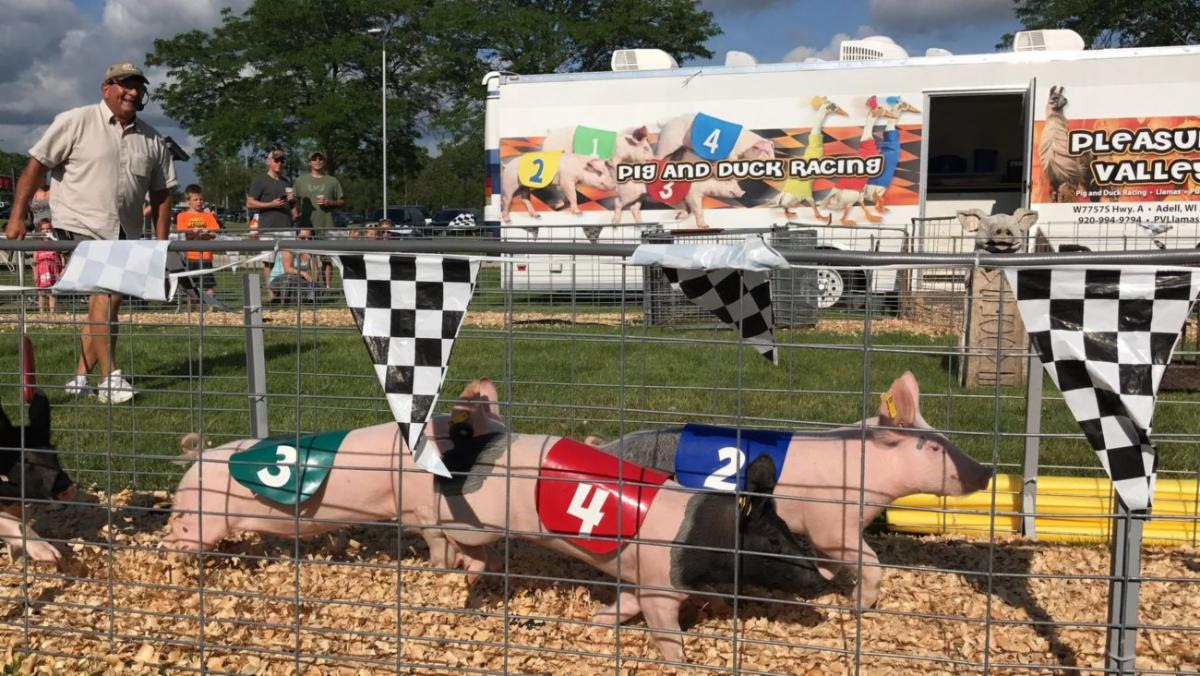 Watch Pig And Duck Races