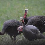 Decrease In Spring Turkey Registrations