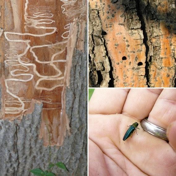 Emerald Ash Borer Iron County