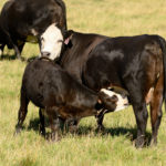 US Beef Cow Numbers Dropping